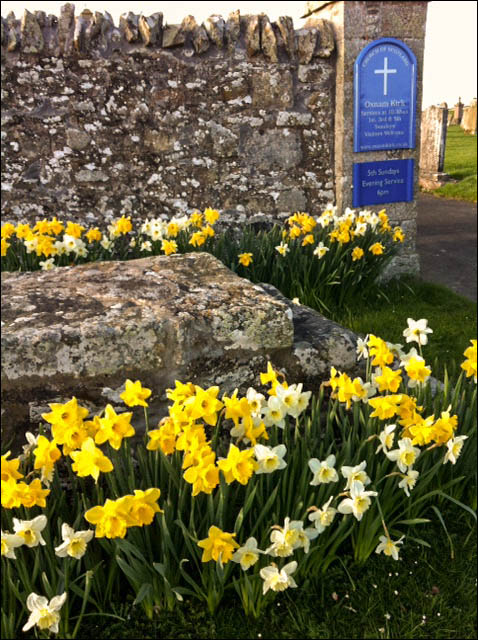 A host of spring daffodils at the church gate.
